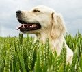 Hunde-OP Versicherung bei grannen im Kornfeld