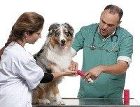 Australian Shepherd beim Tierarzt
