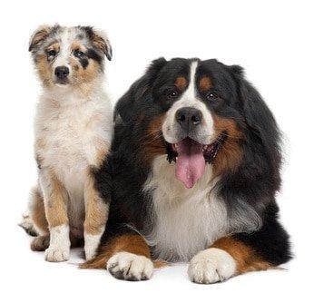 Hundekrankenversicherung Australian Shepherd
