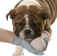 Ellenbogendysplasie beim Hund