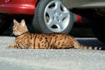 Katzen-Op Versicherung für Verkehrsunfälle