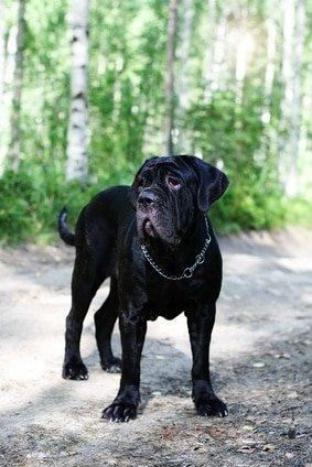 Kampfhundehaftpflicht für Mastiff