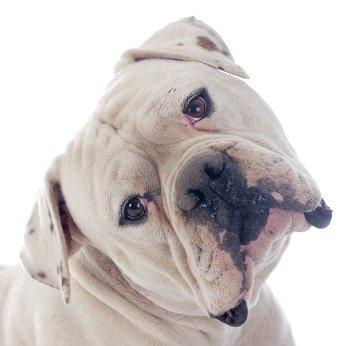 Hundehaftpflicht Dogge