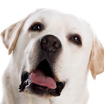 Hundehaftpflicht Labrador