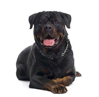 Hundehaftpflicht Rottweiler