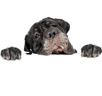 Hundehaftpflicht Mastino