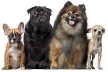 Atemwegserkrankungen beim Hund