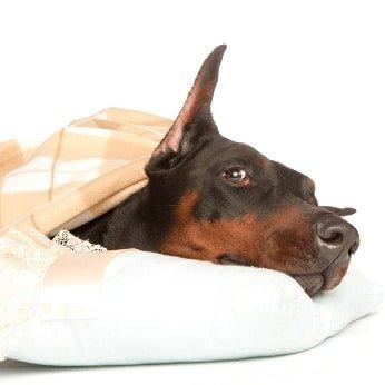 Hunde-Op Versicherung für Dobermann