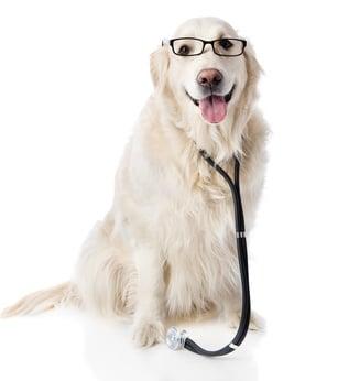 Hunde-Op Versicherung für Golden Retriever