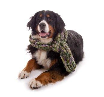 Hunde-Op Versicherung für Sennenhunde