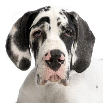 Hunde-Op Versicherung für Dogge