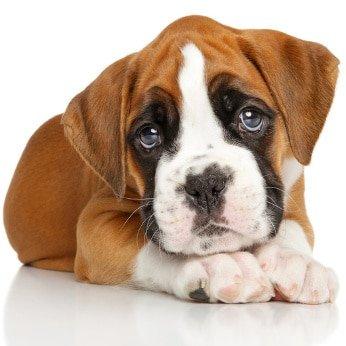 Hunde-Op Versicherung für Boxer